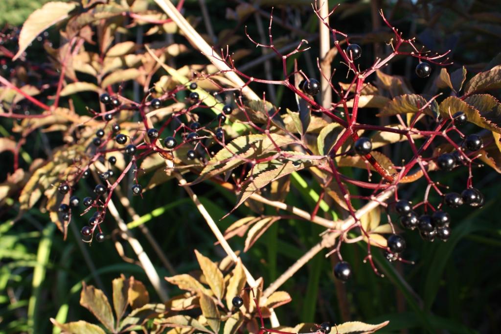 Black Lace Elderberry