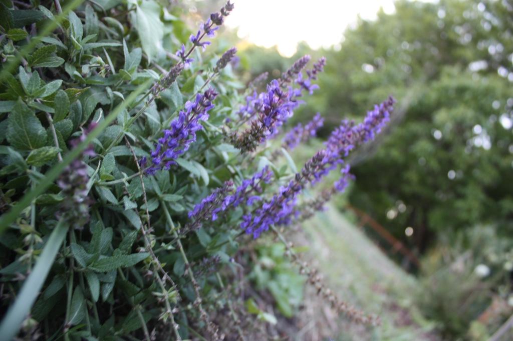 May Night Salvia