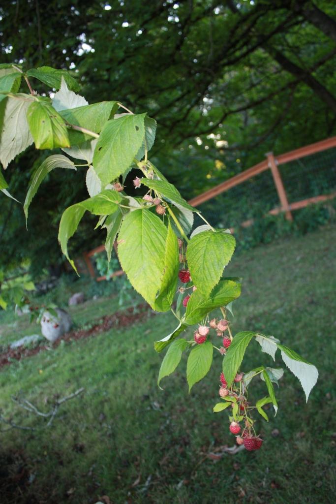 Heritage Red Raspberries