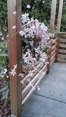Sweet Autumn Clematis (Clematis paniculata)
